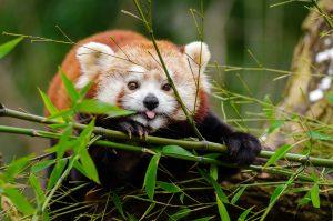 Panda roux reserve de la haute touche