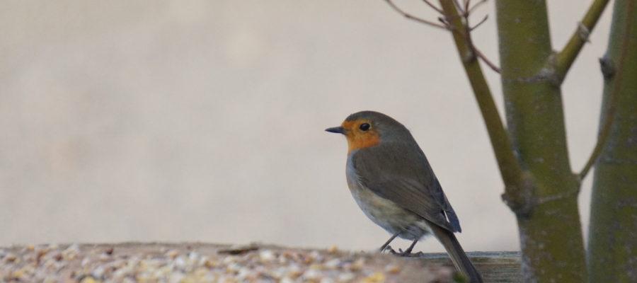 Observation des oiseaux - Rouge Gorge